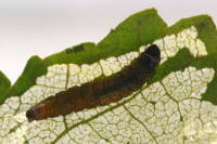 Metendothenia atropunctana, caterpillar  6667