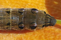 Deilephila elpenor, caterpillar  6813