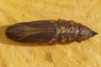 Deilephila elpenor, pupa  6817