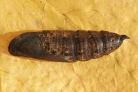 Deilephila elpenor, pupa  6818