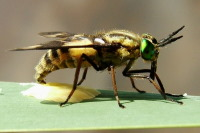 Chrysops relictus, Eiablage  683