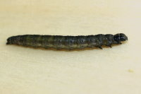 Archips crataegana, caterpillar  7310