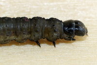 Archips crataegana, caterpillar  7311