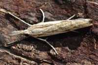 Agriphila inquinatella  7430
