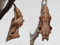Polygonia c-album, pupa  8073