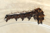 Polygonia c-album, caterpillar  8075