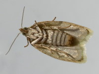 Tortrix viridana, bottom view  8232
