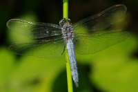 Orthetrum coerulescens anceps, male  82