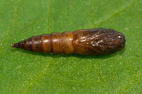 Archips xylosteana, pupa  8756