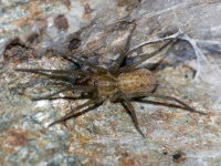 Eratigena agrestis  8984