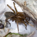 Eratigena agrestis  9167__20CHA00082o