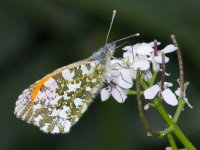 Anthocharis cardamines, male  9276