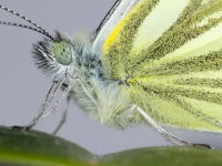 Pieris napi, male  9297