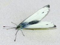 Pieris napi, male  9300