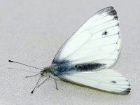 Pieris napi, male  9301